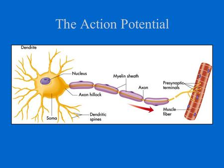 The Action Potential. The Resting Potential of the Neuron results from difference in ion distribution inside and outside of cell (-70mV)