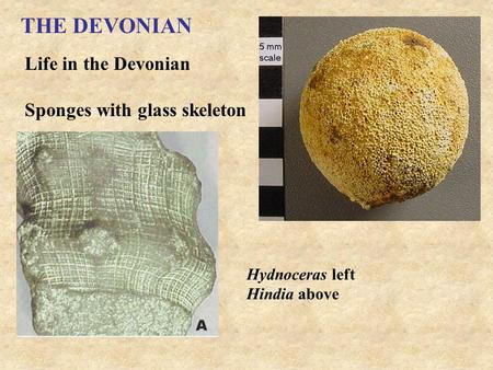 THE DEVONIAN Life in the Devonian Sponges with glass skeleton Hydnoceras left Hindia above.
