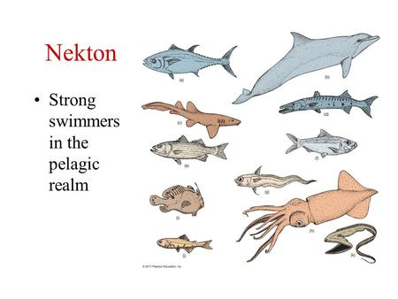 Nekton Strong swimmers in the pelagic realm. Cephalopod Mollusks Pelagic = squid, cuttlefish, chambered nautilus (benthic = octopus) Have tentacles and.