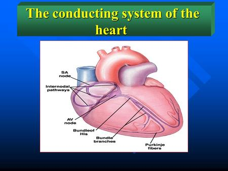 The conducting system of the heart