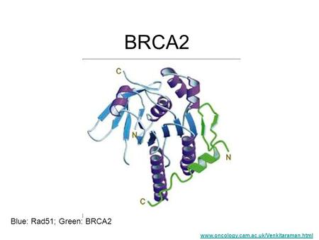 BRCA2 Blue: Rad51; Green: BRCA2 www.oncology.cam.ac.uk/Venkitaraman.html.
