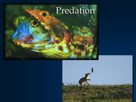 Predation – what is it? One animal kills another for food ( + - interaction ) One animal kills another for food ( + - interaction ) Parasitism / Parasitoidism.