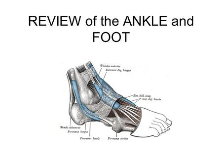 REVIEW of the ANKLE and FOOT. Name the muscle and its actions Flexor digitorum longus Actions: –toe flexion –plantar flexion, –inversion of the foot.