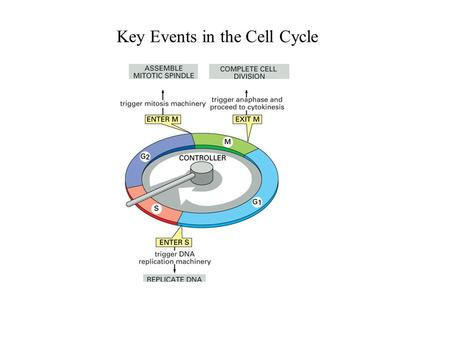 Key Events in the Cell Cycle. The Spindle Assembly Checkpoint Blocks Activation of the Anaphase Promoting Complex (APC ) Check for: Proper Chromosome.
