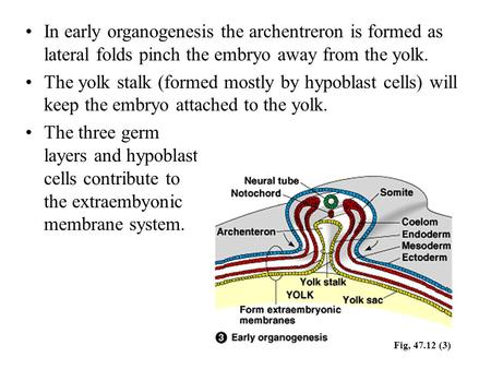 In early organogenesis the archentreron is formed as lateral folds pinch the embryo away from the yolk. The yolk stalk (formed mostly by hypoblast cells)