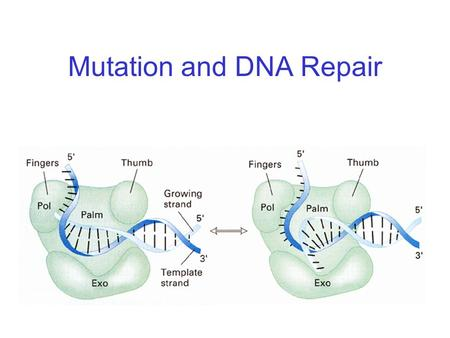 Mutation and DNA Repair. Mutation Rates Vary Depending on Functional Constraints.