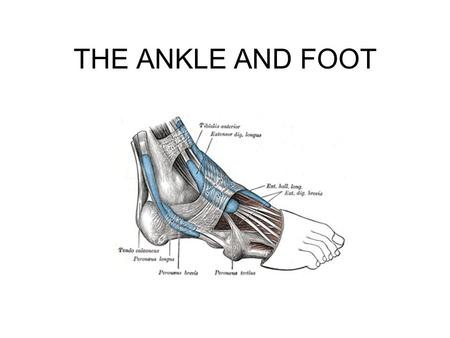THE ANKLE AND FOOT.
