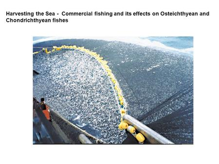 Harvesting the Sea - Commercial fishing and its effects on Osteichthyean and Chondrichthyean fishes.