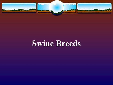 Swine Breeds. Large White Pictures from  Originated in England Imported into almost every country of the world.
