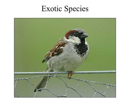 Exotic Species. Recreation - Brown Trout Ring-necked Pheasant.