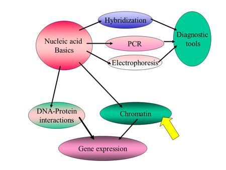 Hybridization Diagnostic tools Nucleic acid Basics PCR Electrophoresis