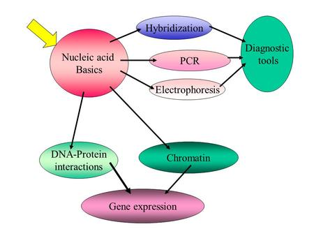 Nucleic acid Basics Hybridization Electrophoresis PCR Diagnostic tools DNA-Protein interactions Chromatin Gene expression.