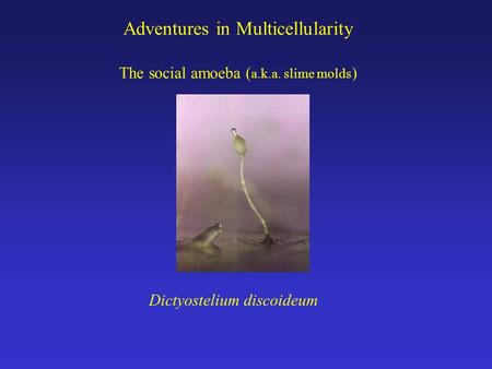 Adventures in Multicellularity The social amoeba ( a.k.a. slime molds ) Dictyostelium discoideum.