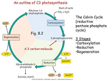 Fig. 8.2 The Calvin Cycle (reductive pentose phosphate cycle) 3 Stages Carboxylation Reduction Regeneration A 3 carbon molecule An outline of C3 photosynthesis.
