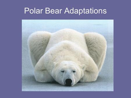 Polar Bear Adaptations. Adaptations are characteristics that help an organism to survive in its environment and/or reproduce.