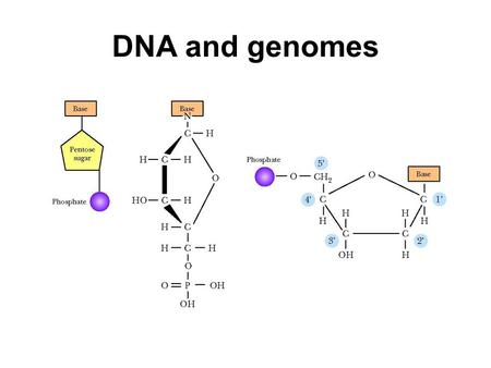 DNA and genomes. The phosphate groups have pKas of around 2 and around 7. This means DNA is negatively charged in the cell. The phosphate groups and the.