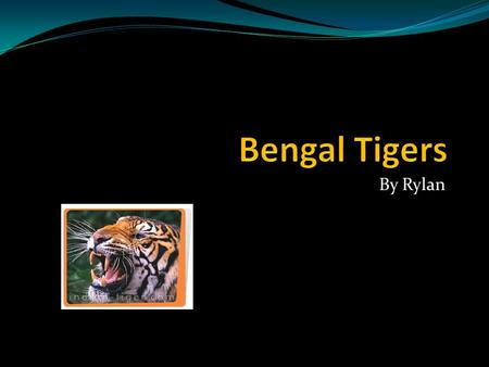 Bengal Tigers By Rylan.