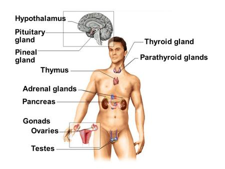 Fig. 18.1(TE Art) Pineal gland Pituitary gland Hypothalamus Thyroid gland Thymus Adrenal glands Pancreas Testes Ovaries Gonads Parathyroid glands.