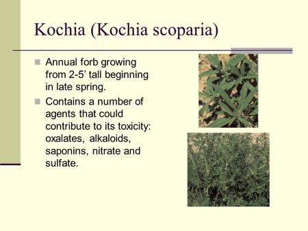 Kochia (Kochia scoparia) Annual forb growing from 2-5' tall beginning in late spring. Contains a number of agents that could contribute to its toxicity: