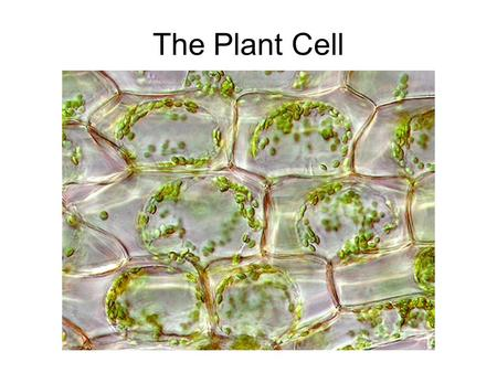 The Plant Cell. Robert Hooke – first saw cells - 1665.