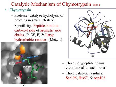 Catalytic Mechanism of Chymotrypsin slide 1 Chymotrypsin –Protease: catalyze hydrolysis of proteins in small intestine –Specificity: Peptide bond on carboxyl.