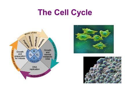 The Cell Cycle. Why It Matters Cell division: Is what got you to your present station in life 25,000,000/second (hair, skin, blood cells, tissue repair,
