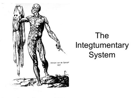 The Integtumentary System. Functions of the Integument Protection Excretion Sensory Water balance Thermoregulation Endocrine (Vitamin D)