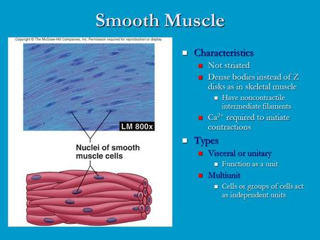Smooth Muscle Characteristics Not striated Dense bodies instead of Z disks as in skeletal muscle Have noncontractile intermediate filaments Ca 2+ required.