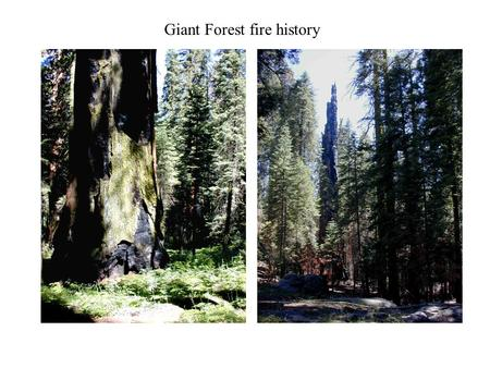 Giant Forest fire history. Vegetation, species composition plot data:  Compare pre-settlement composition estimates with current stand composition.