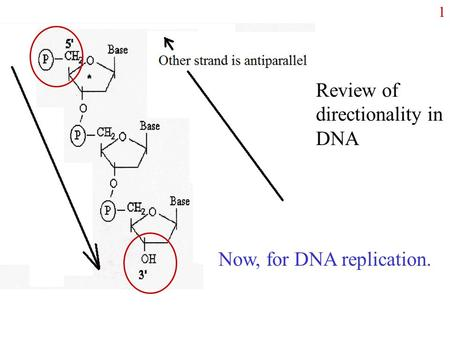 1 Review of directionality in DNA Now, for DNA replication.