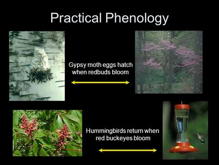 Practical Phenology Hummingbirds return when red buckeyes bloom Gypsy moth eggs hatch when redbuds bloom.