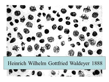Heinrich Wilhelm Gottfried Waldeyer 1888 What is so special about chromosomes ? 1.They are huge: One bp = 600 dalton, an average chromosome is 10 7 bp.
