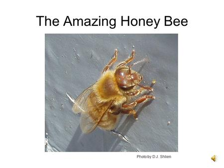 The Amazing Honey Bee Photo by D.J. Shlien. We hear about various problems with bees: bee mites Africanized bees colony collapse disorder. Should we care?