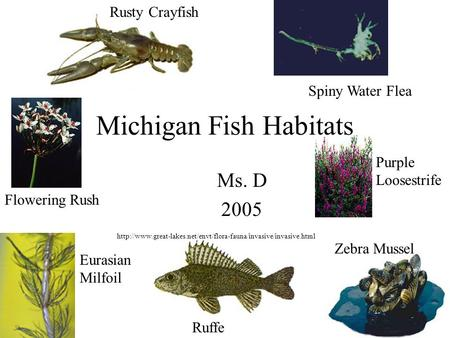 Michigan Fish Habitats Ms. D 2005  Rusty Crayfish Spiny Water Flea Flowering Rush Purple.