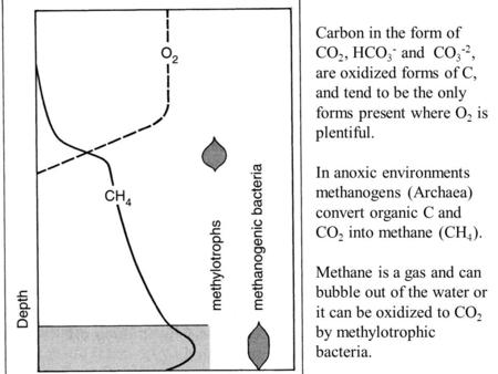 Carbon in the form of CO 2, HCO 3 - and CO 3 -2, are oxidized forms of C, and tend to be the only forms present where O 2 is plentiful. In anoxic environments.