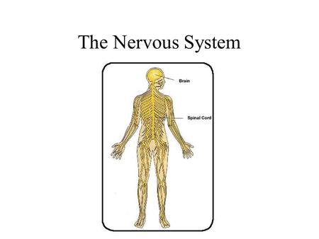 The Nervous System. Divisions of the Nervous System Central Nervous System [CNS] = Spinal Cord Brain Peripheral Nervous System [PNS]= Spinal Nerves.