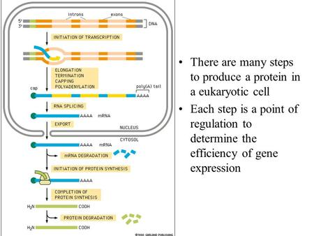 There are many steps to produce a protein in a eukaryotic cell Each step is a point of regulation to determine the efficiency of gene expression.