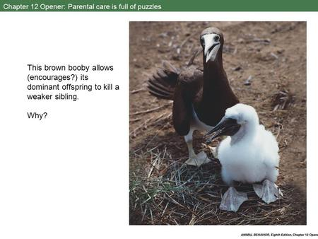 Chapter 12 Opener: Parental care is full of puzzles This brown booby allows (encourages?) its dominant offspring to kill a weaker sibling. Why?