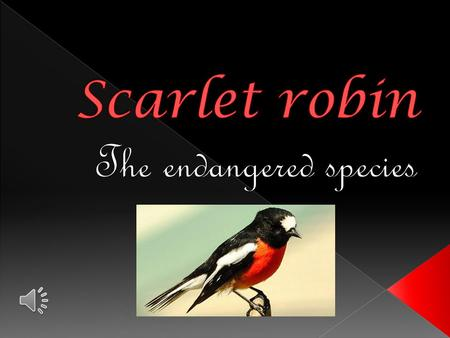  The Scarlet Robin lives singularly or in pairs in open, dry forests and woodlands. During winter, it will visit more open habitats such as farmland.