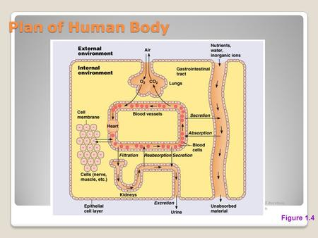 Plan of Human Body Figure 1.4