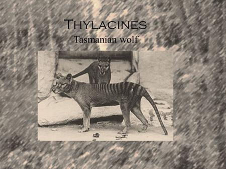 Thylacines Tasmanian wolf. Description Habitat The Tasmanian wolf was commonly found in Australia on islands like Tasmania. It became extinct in Australia.