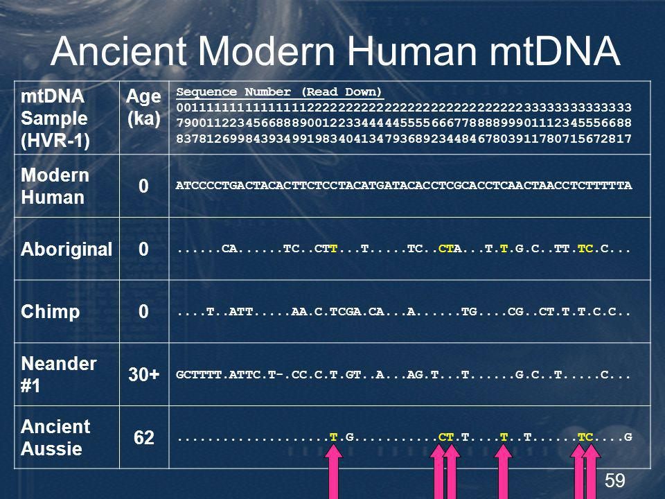 60 Neandertal mtDNA Summary Neandertals have no genetic (nor evolutionary) connection to humans Neandertals displayed limited genetic diversity