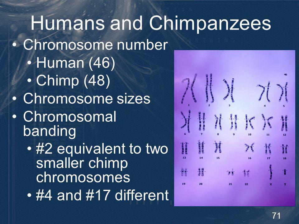 72 Chromosome 21 Human-Chimp Comparison Chromosome 21 fully sequenced and annotated Two clusters with significant differences PCR Result Chimp - Chimp and other primates - HS21 Clone Gaps