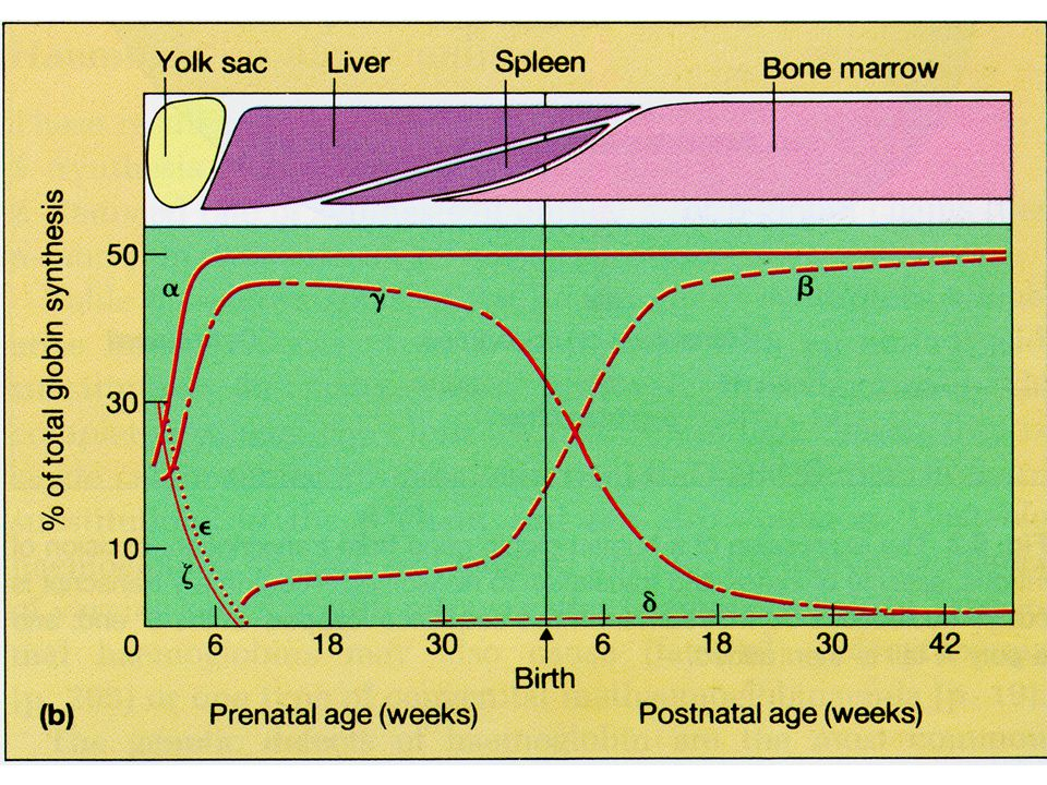 Normal adult Haemoglobin HaemoglobinGlobin chains% Hb Aα 2 β 2 96-98 Hb A2α 2 δ 2 1.7-3.6 Hb Fα 2 γ 2 0.1-2.0