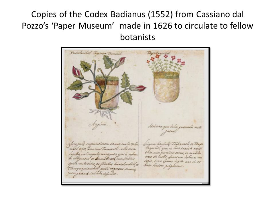 Magnolia, from Catesbys Natural History, 1731