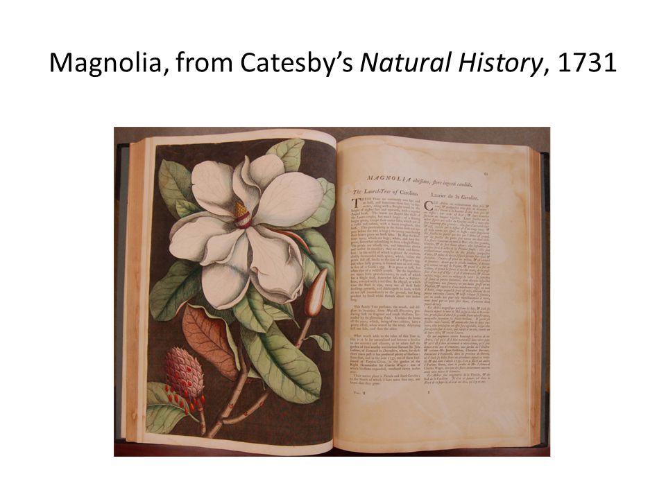 Magnolia altissima (grandiflora) by Georg Ehret, 1743