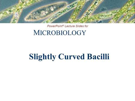 Slightly Curved Bacilli