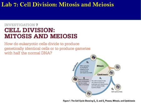 Lab 7: Cell Division: Mitosis and Meiosis. Chapter 12/13 - Cell Cycle, Meiosis, and Sexual cycles AIM: Describe how the cell cycle is regulated. Are there.