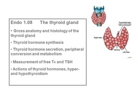 Endo 1.08 The thyroid gland Gross anatomy and histology of the thyroid gland Thyroid hormone synthesis Thyroid hormone secretion, peripheral conversion.