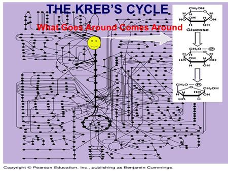 THE KREB'S CYCLE What Goes Around Comes Around. The Krebs Cycle The Krebs Cycle What Goes Around Comes Around Part 1: Preparation of Pyruvate Pyruvate.